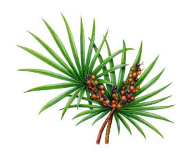 Saw Palmetto increase breast size