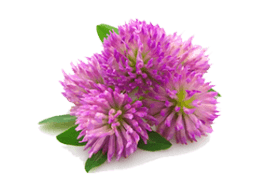 clover-flower for breast enlargemnt