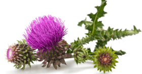 Blessed Thistle for breast enlargemnt